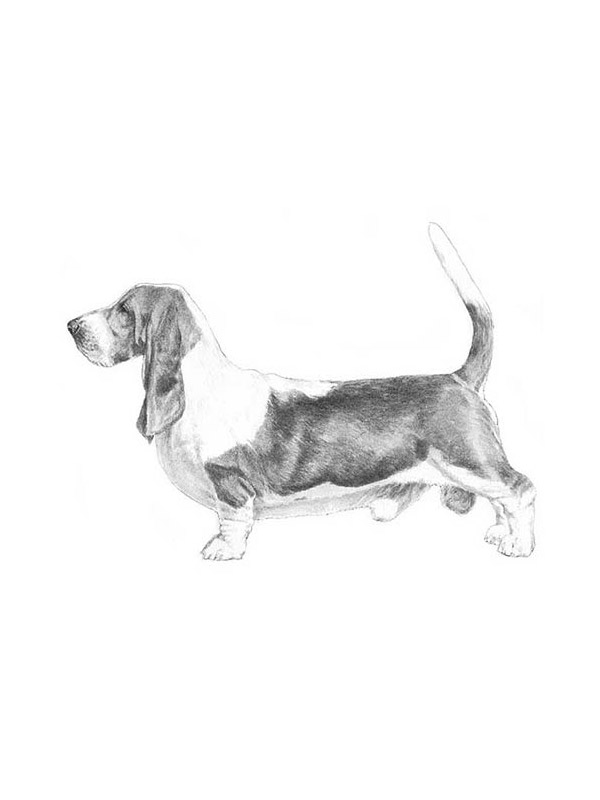 Lost Basset Hound in Brightwaters, NY US