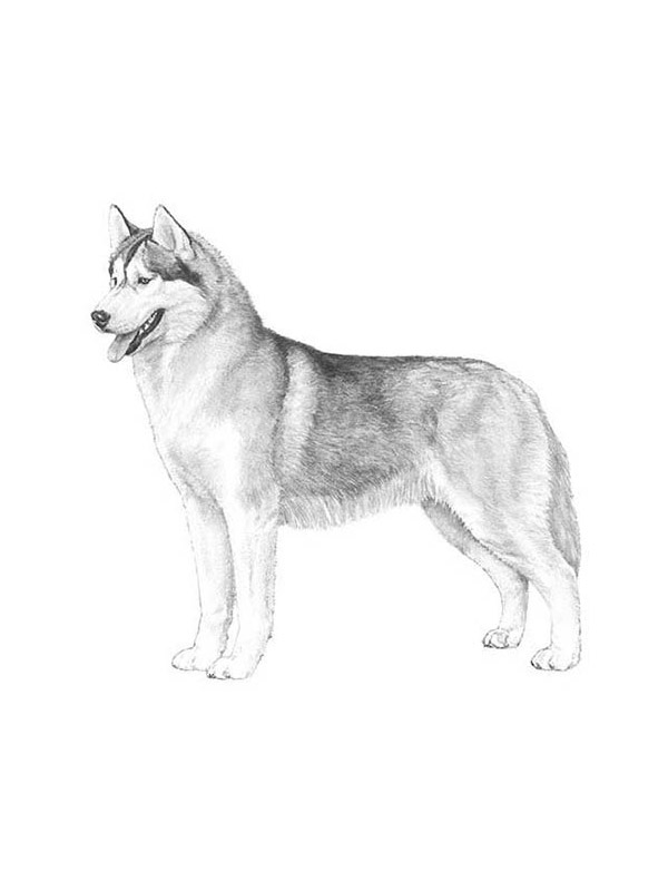 Lost Siberian Husky in Pratt, KS US