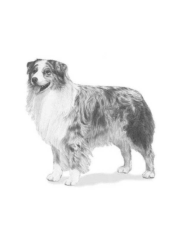 Lost Australian Shepherd in Pratt, KS US