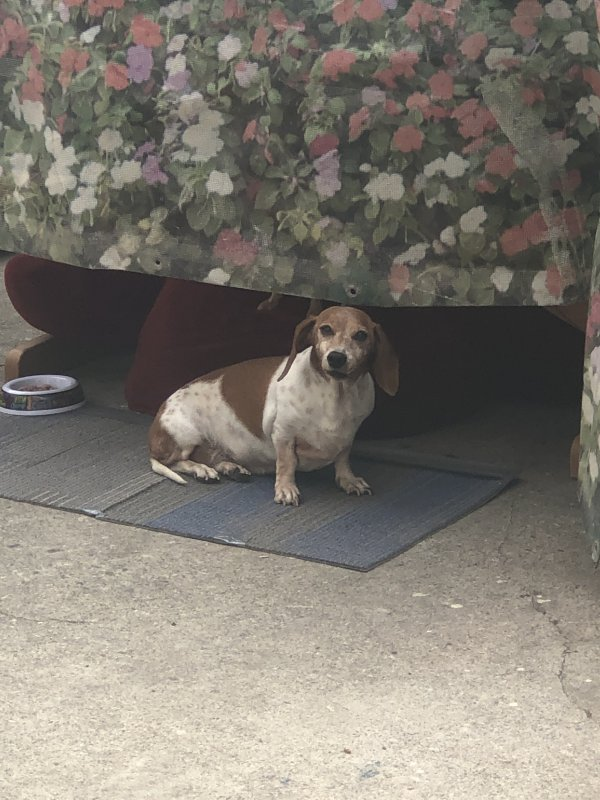 Lost Dachshund in Los Angeles, CA US
