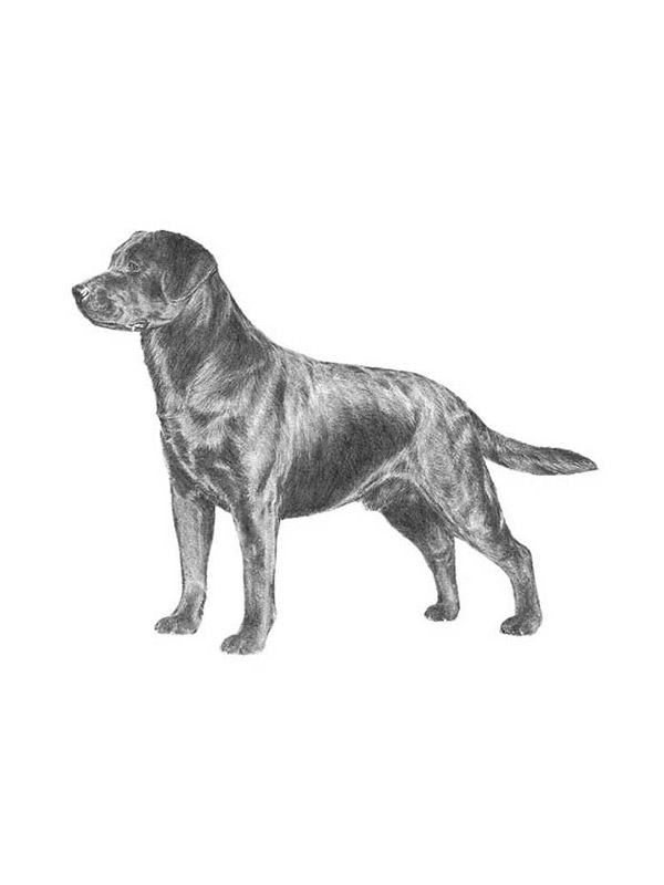 Lost Labrador Retriever in Dixon, MO US
