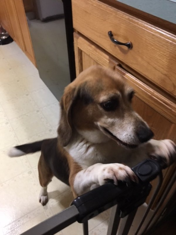 Found Beagle in Shelton, CT US