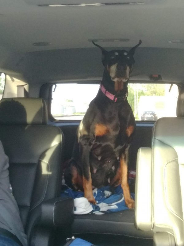 Safe Doberman Pinscher in Rensselaer, IN US