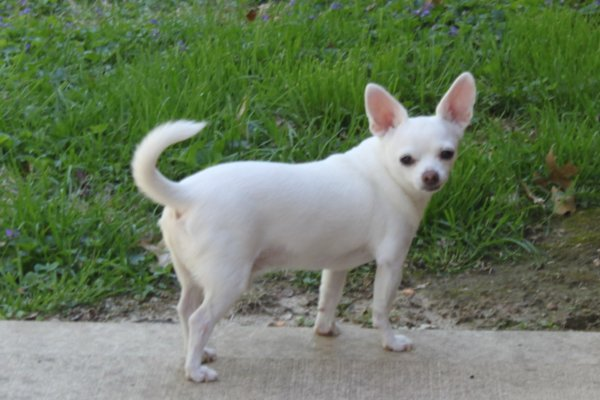 Lost Chihuahua in Collinsville, IL US