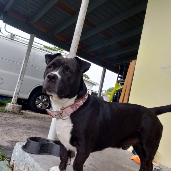 Found Pit Bull in Hollywood, FL US