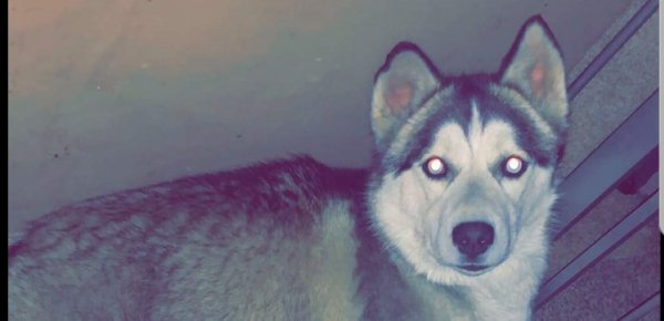 Safe Siberian Husky in Brooklyn, NY US