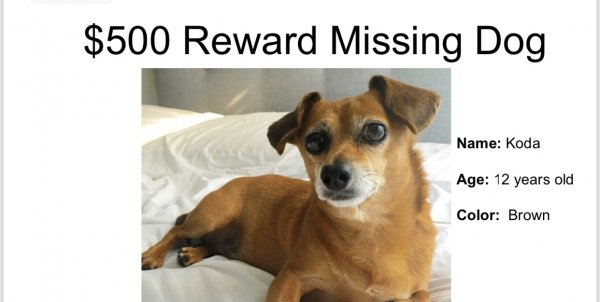 Lost Chihuahua in Sylmar, CA US