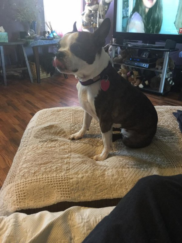 Lost Boston Terrier in Centertown, MO US