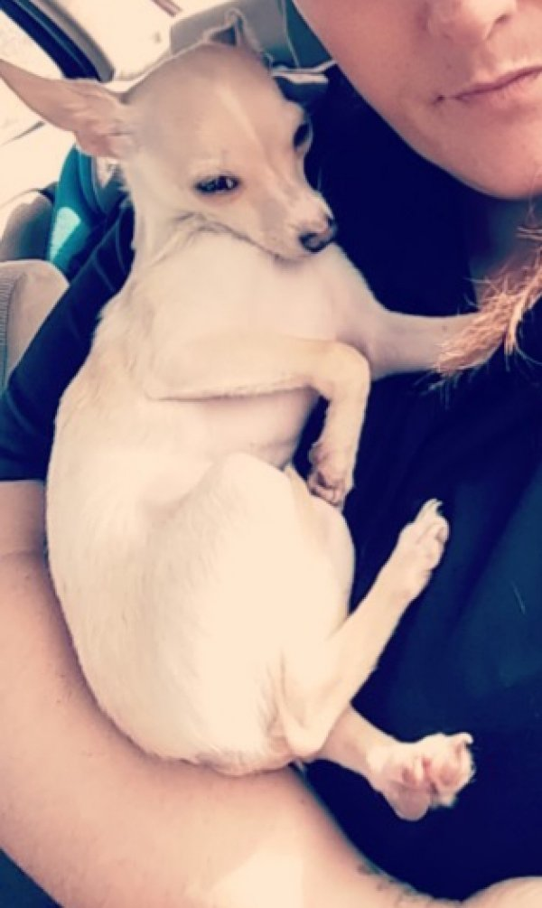 Lost Chihuahua in Davenport, FL US