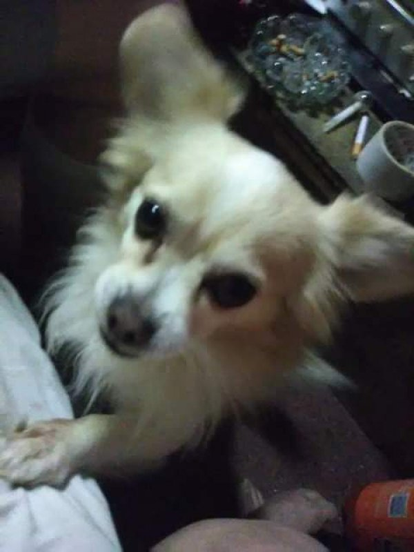 Lost Chihuahua in Victorville, CA US