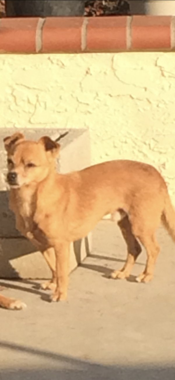 Lost Chihuahua in Milpitas, CA US