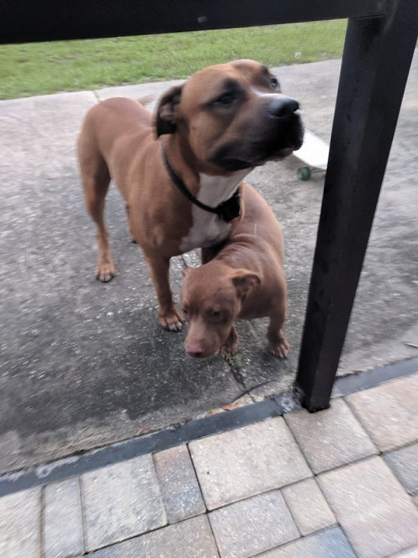 Found Pit Bull in Spring Hill, FL US