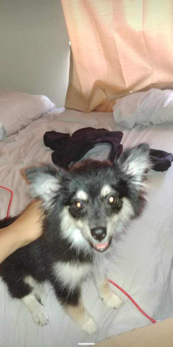 Found Pomeranian in Lancaster, CA US