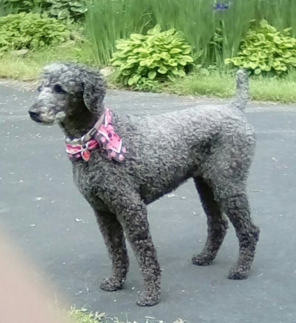 Lost Poodle in Dauphin, PA US