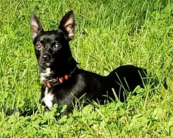 Lost Chihuahua in Madison Heights, VA US