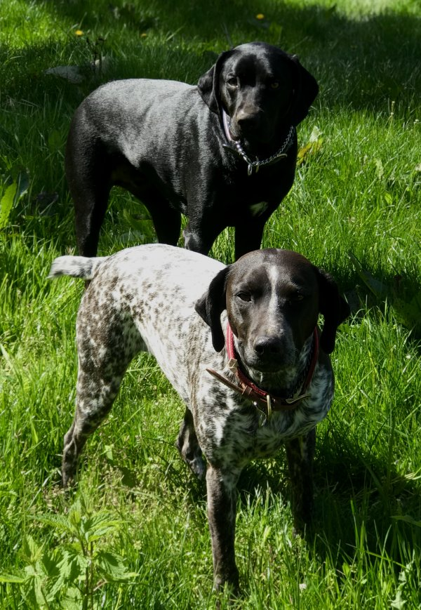 Safe German Shorthaired Pointer in Coupeville, WA US