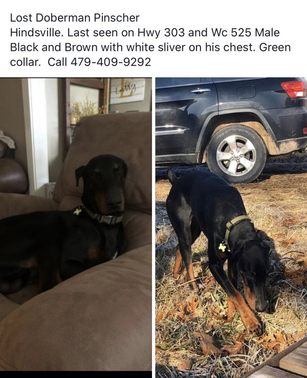Reunited Lost Doberman Pinscher in Hindsville, AR US