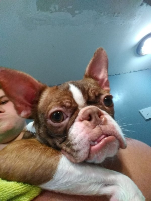 Lost Boston Terrier in Winter Garden, FL US