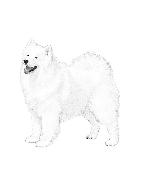 Safe Samoyed in Bargersville, IN US