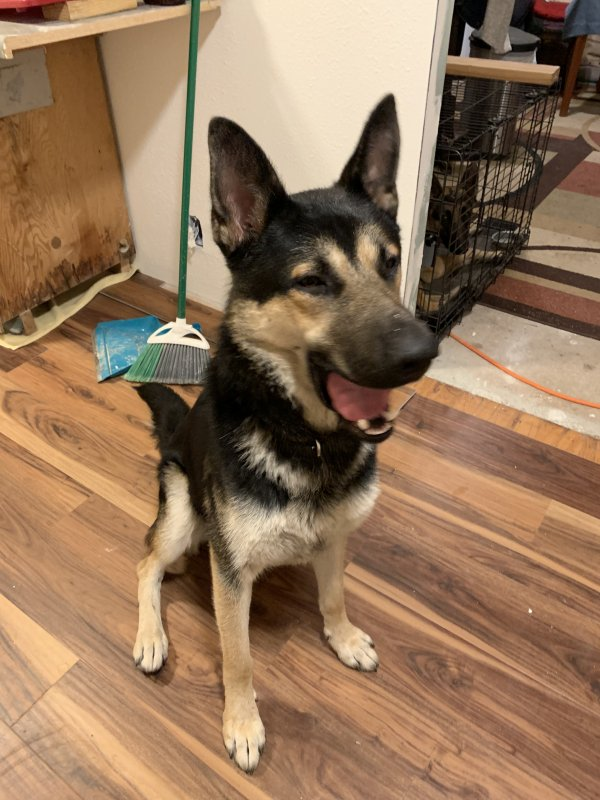 Found German Shepherd Dog in Portland, OR US