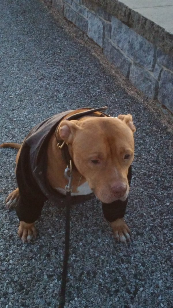 Lost Pit Bull in Baltimore, MD US