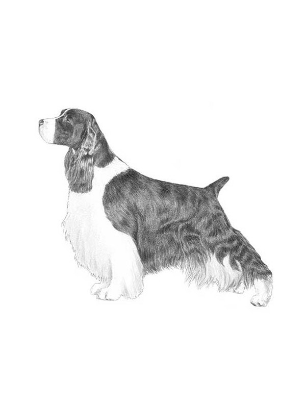Lost English Springer Spaniel in Girard, OH US