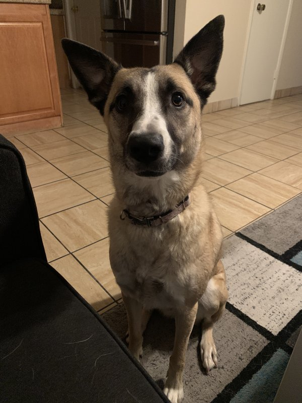 Found German Shepherd Dog in Tempe, AZ US