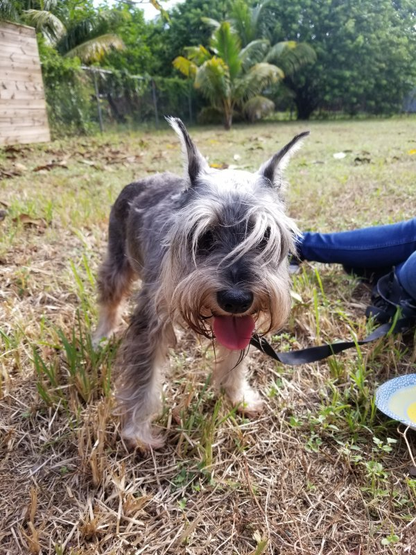 Found Miniature Schnauzer in Hollywood, FL US