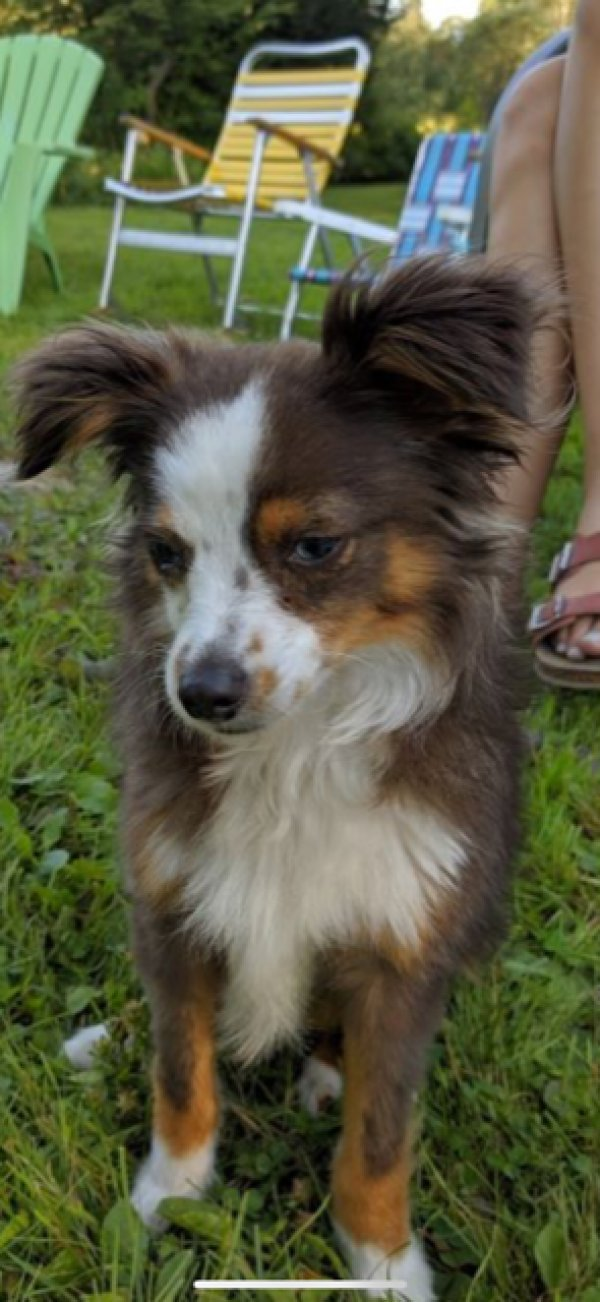 Safe Australian Shepherd in Cambridge, MA US