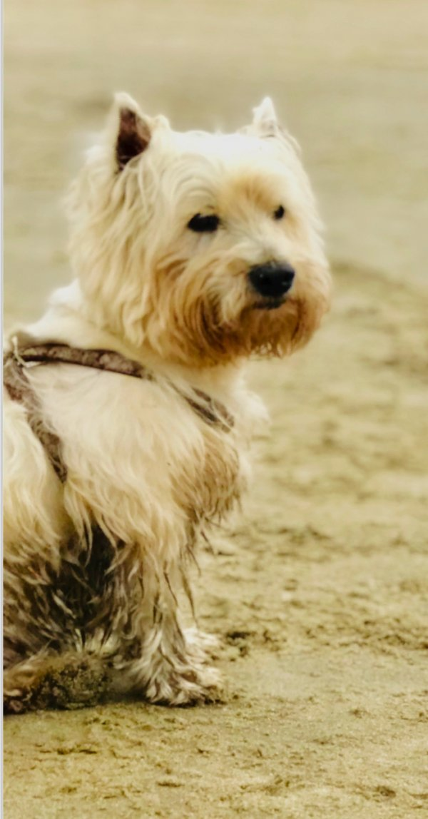 Lost West Highland White Terrier in Cornelius, OR US