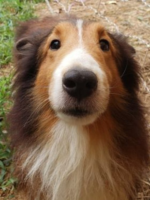 Safe Shetland Sheepdog in Wake Forest, NC US