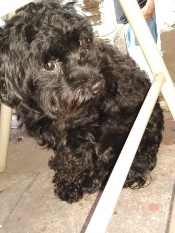 Found Poodle in Philadelphia, PA US