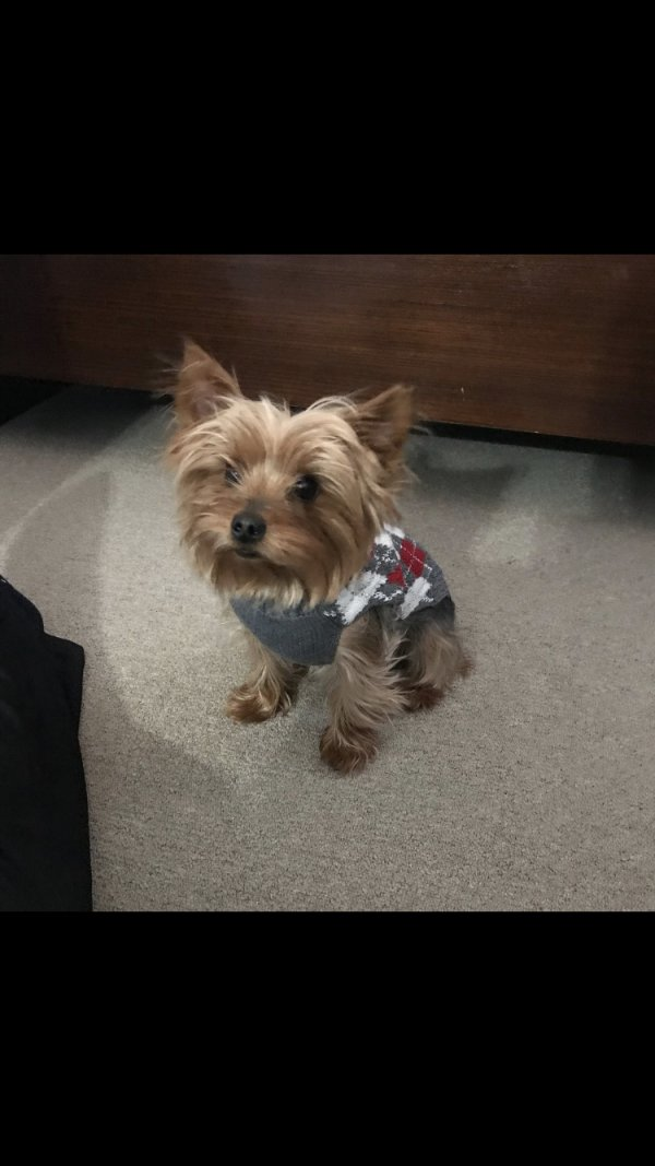 Stolen Yorkshire Terrier in Bay Shore, NY US