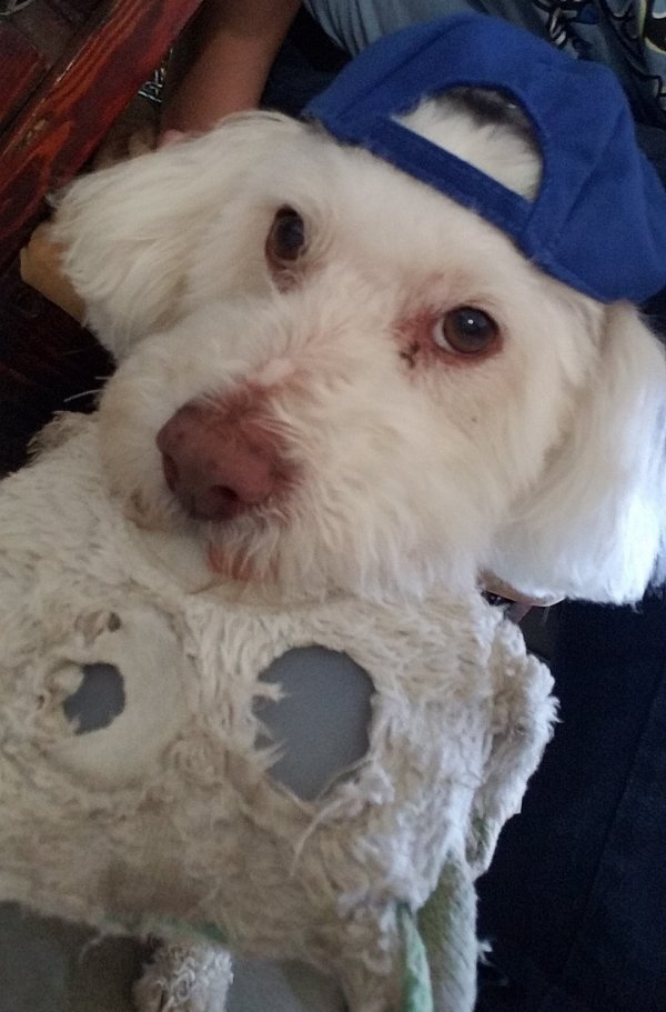 Lost Poodle in Fontana, CA US