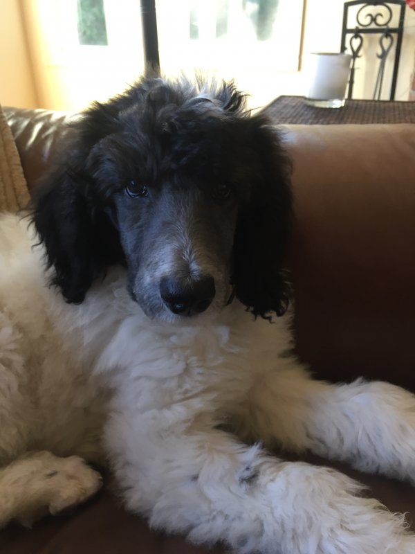 Found Poodle in Tualatin, OR US