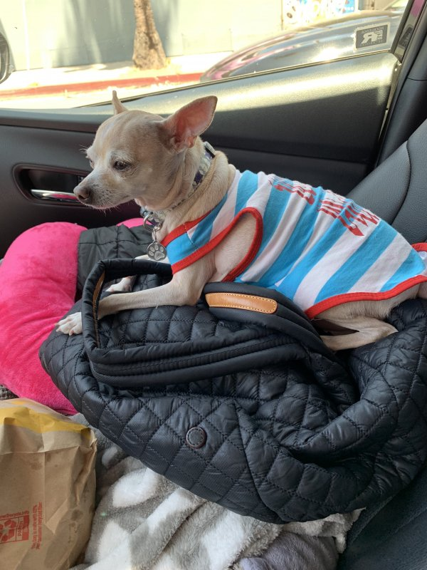 Stolen Chihuahua in South El Monte, CA US