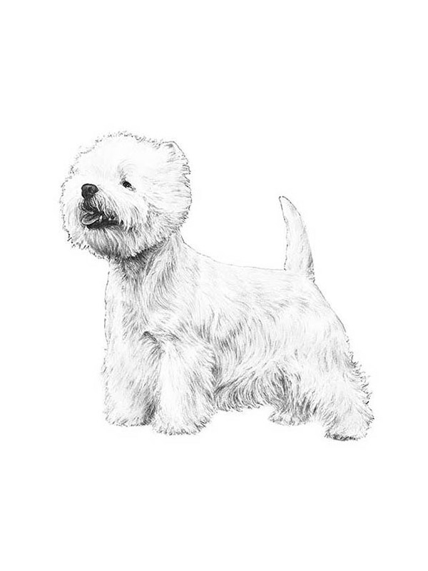 Lost West Highland White Terrier in Broken Bow, OK US