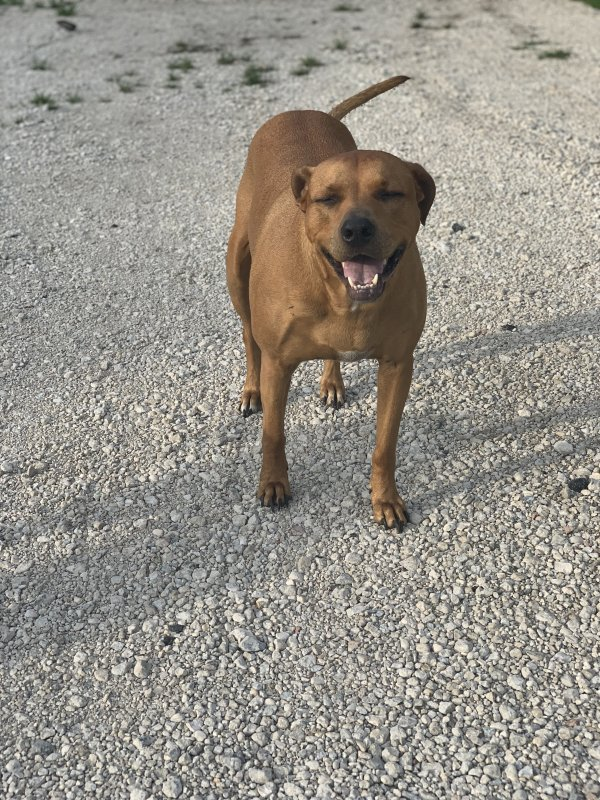Lost Pit Bull in Islip Terrace, NY US