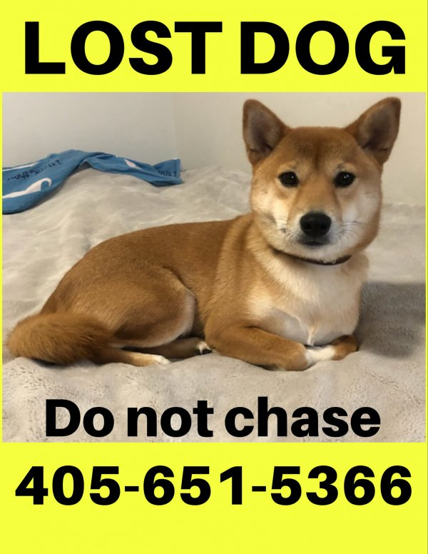 Lost Shiba Inu in Jersey City, NJ US
