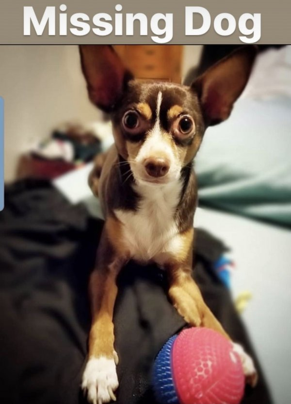 Lost Chihuahua in Staten Island, NY US