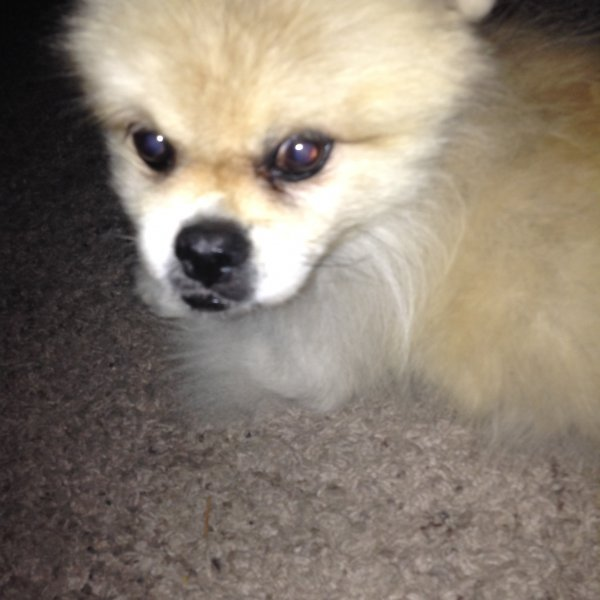 Lost Pekingese in Lakewood, WA US