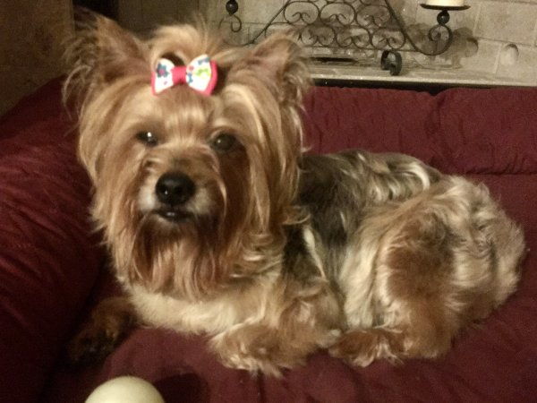 Safe Yorkshire Terrier in Brunswick, GA US