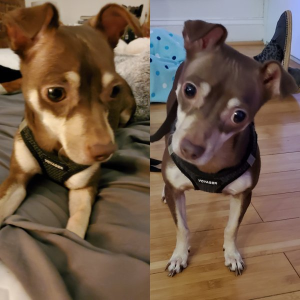 Found Chihuahua in Astoria, NY US