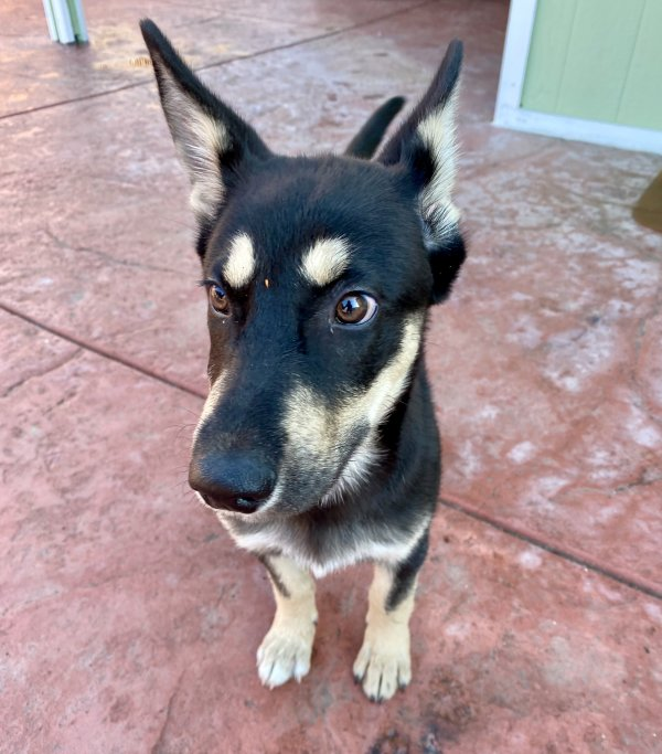Found German Shepherd Dog in Norwalk, CA US