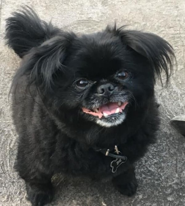 Lost Pekingese in Portland, OR US