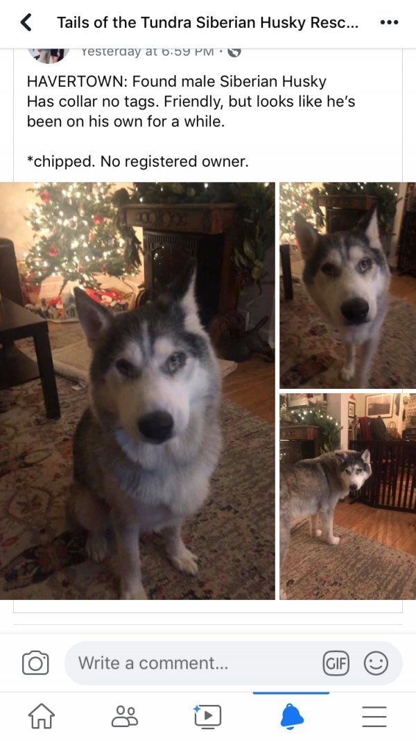 Found Siberian Husky in Havertown, PA US