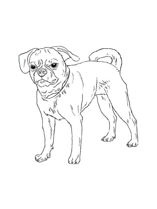 Lost Puggle in Pittsburgh, PA US