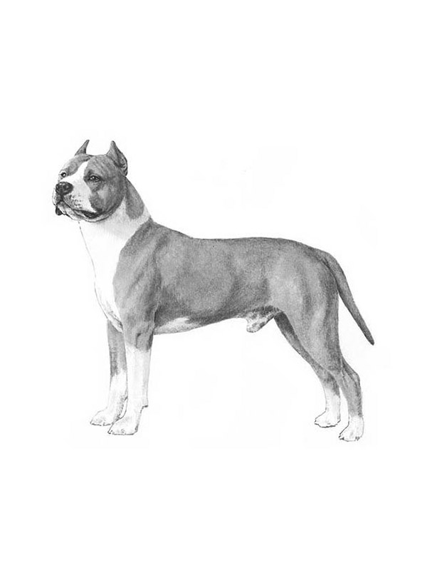 Lost American Staffordshire Terrier in Winona, MN US