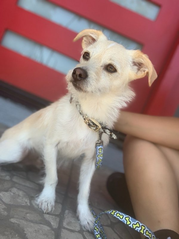 Lost Chihuahua in Montebello, CA US
