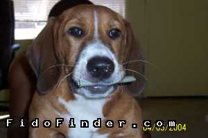Safe Beagle in Miami, FL US